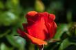 Nahaufnahme einer blühenden roten Rose