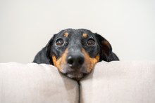 Close Up Portrait Of Adorable Black And Tan Dachshund Resting His Head Between The Cushions Of White Sofa. Cute Look Right To The Camera, Clever Dog Eyes. Indoors.