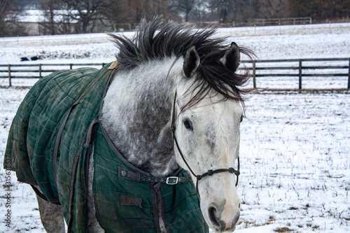 Close-up of a gray horse with a blanket running toward the camera ina snowy pasture.