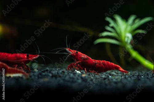 Obraz Red neocaridina shrimp fire pet aquarium freshwater nature macro - fototapety do salonu