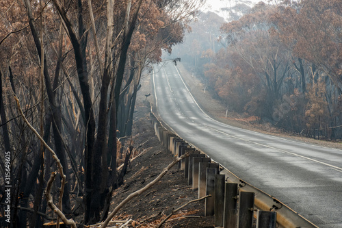 Australian bushfires: burnt eucalyptus tree along the road at Blue Mountains Wallpaper Mural