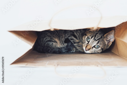 Foto Young European Shorthair cat playing and hiding in a paper bag.