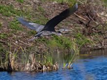 Great Blue Heron In Flight Over Pond