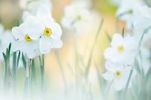 White Daffodils In Springtime....
