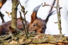 Verstecktes Eichhörnchen Im B...