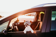 Cute Dog Traveling In A Car We...