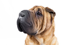 Portrait Of A Sharpei With A W...