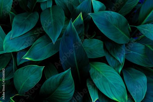 Papier Peint - closeup nature view of green leaf in garden, dark wallpaper concept, nature background, tropical leaf