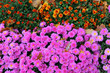 canvas print picture - flowerbed of pink flowers