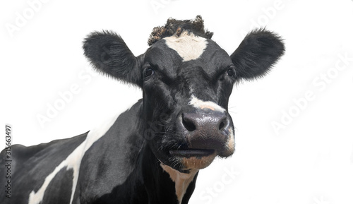 Fotografía A black and white dairy cow isolated on a white background