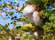 Cotton (scientific Name: Gossy...