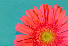Pink Gerbera Flower On Blue Ba...