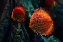 Selective Focus Of Red Fish Swimming Under Water In Dark Aquarium