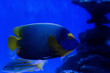 canvas print picture - selective focus of fishes swimming under water in aquarium with blue lighting