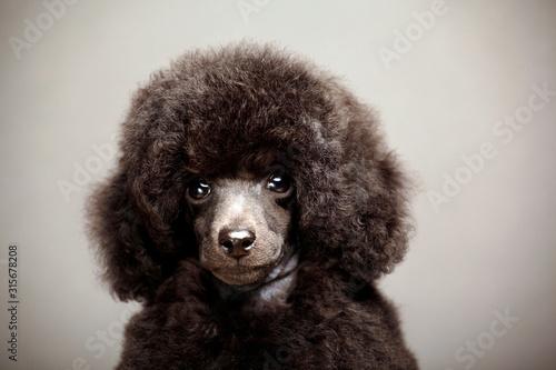 Obraz black dog portrait grey background - fototapety do salonu