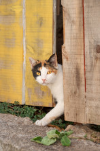A Shy Cat, White With Calico Color Pattern, Peering Curiously Out Of An Old Wooden Door, Greece