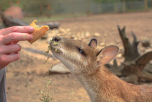 Closeup Of Wallaby Eating From...