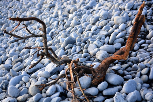 Fotografia Gnarled and weathered draft wood washed up onto the pebble beach in Cold Knap Ba