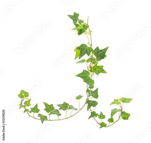 ivy isolated on a white background. Poster Mural XXL