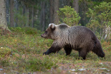 Brown Bear In Autumnal Forest, Kuhmo, Finland