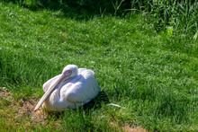 Eastern White Pelicans, Peleca...
