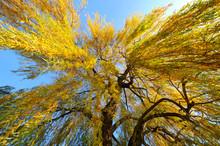 Trauerweide Im Herbst