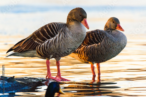 Photo Two Greylag gooses at shore resting in sunset light.