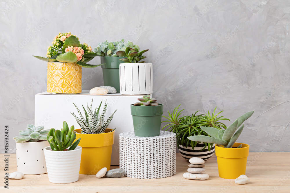 Fototapeta Collection of various succulents and plants in colored pots. Potted cactus and house plants against light wall. The stylish interior home garden