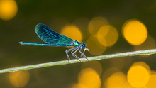Feeding Male Banded Demoiselle...