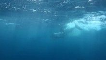 Amazing Great White Shark Attacks Chum Line During Shark Cage Dive In Port Lincoln South Australia