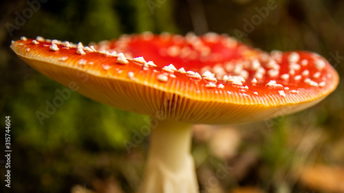 Photo Close-up of a Amanita poisonous mushroom in nature