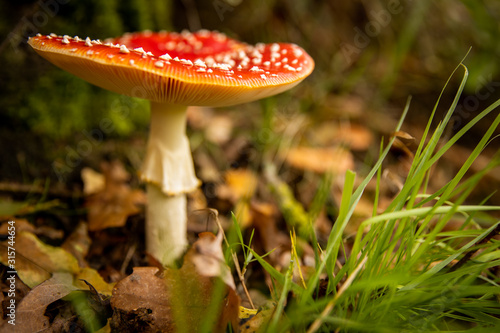 Close-up of a Amanita poisonous mushroom in nature Wallpaper Mural