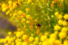 Close Up Of Bumble Bee On The Blooming Small Yellow Flower At The Sunlit Summer Garden