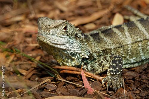 Australian water dragon - Intellagama lesueurii or Physignathus lesueurii, eastern water dragon (ss Canvas Print