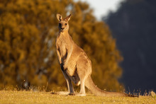 Macropus Giganteus - Eastern Grey Kangaroo Marsupial Found In Eastern Third Of Australia, With A Population Of Several Million. It Is Also Known As The Great Grey Kangaroo And The Forester Kangaroo