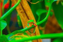 Red-eyed Tree Frog In Rainfore...