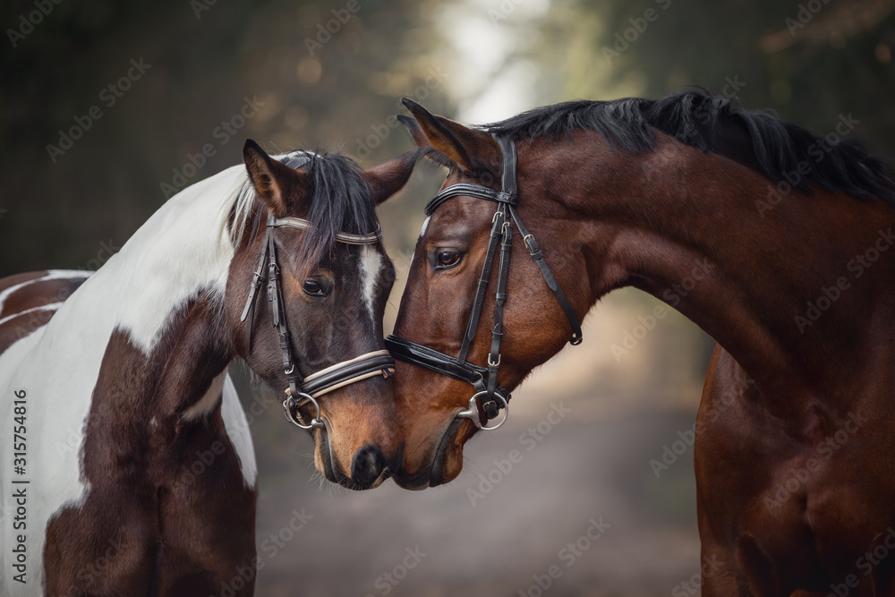 Fototapeta portrait of stallion and mare horses in love nose to nose sniffing each other on road in forest background