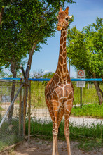 Blurred Giraffe Background. Wild Giraffe In A Pasture, Safari Park In Costa Rica.