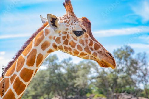 Blurred giraffe background Canvas Print
