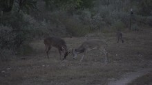 Two Whitetail Bucks Fighting Early Am