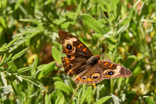 Closup Of Common Buckeye Butte...