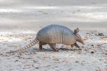 Armadillo Walking Along A Path