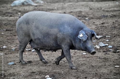 cerdo español Canvas Print