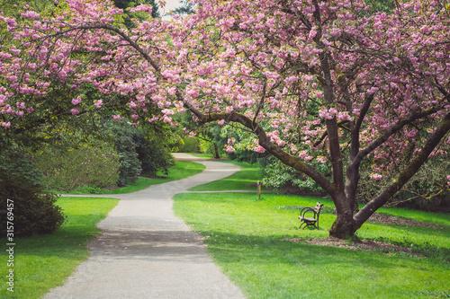Fényképezés Cherry Blossom Tree Stretching Out Over Path