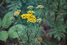 Yellow Tansy Flowers , Common ...