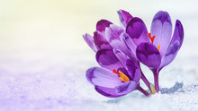 Crocuses - Blooming Purple Flo...