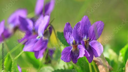 Violet violets flowers bloom in the spring forest. Viola odorata