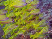 School Of Yellow Striped Fish ...