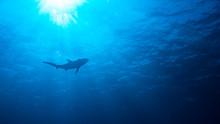 Caribbean Reef Shark In Blue W...