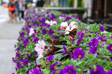 Calibrachoa Aloha Purple, Mini Petunia Blooming Purple Flowers